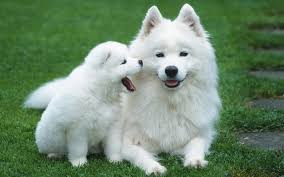 most beautiful dogs wallpapers. Perfect Wallpapers Pomeranian Dog Photos To Most Beautiful Dogs Wallpapers I