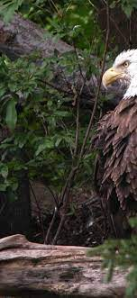 Animal eagle