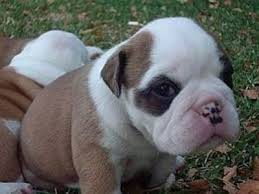 close up a brown with white and black circles around its eyes australian bulldog puppy