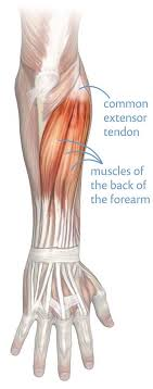 The achilles tendon is also called the calcaneal tendon. Tennis Elbow What Works What Doesn T And Why