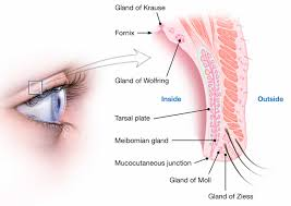 Eyelid Anatomy Pimple On Eyelid Types Causes How To Treat Them