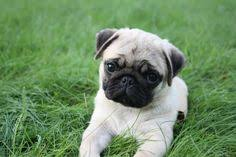 pug puppy wallpaper. Interesting Puppy Pug Wallpaper Screensaver Background Cute Puppy Puppies For  Sale With Wallpaper U