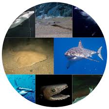 Tiger Shark Classification Chart Shark Facts For Kids