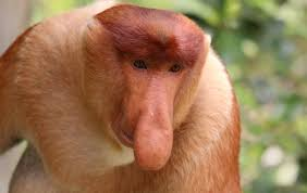 Long Nose Size Does Matter To Monkeys With Big Noses Say Scientists