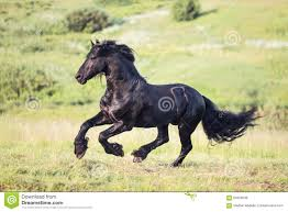 horses galloping in a field. Unique Galloping Black Horse Galloping In The Field With Horses Galloping In A Field 0