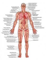 Diagram Of The Human Organs Stock Images Royalty Free