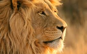 Lion Full HD Wallpaper (Page 1) - Line ...