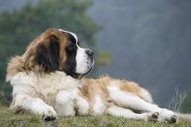 6 Best Saint Bernard Dog Foods Plus Top Brands For Puppies