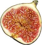 Images & Illustrations of fig