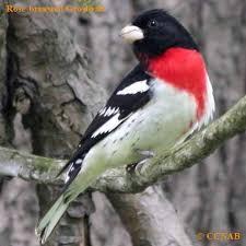 40 Best Backyard Birds Images On Pinterest  Backyard Birds Backyard Bird Watch