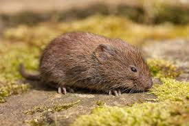 Image result for vole