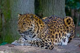 Classée en « danger critique d'extinction » depuis 1996: La panthère de l'Amour de retour