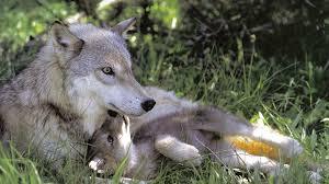wolf puppies wallpaper. Simple Wallpaper Wallpapers ID808265 On Wolf Puppies Wallpaper B