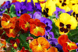 Image result for pansies pictures flowers
