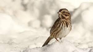 Bruant chanteur / Song <b>Sparrow</b> | Réservoir Beaudet, Victoria… | Flickr