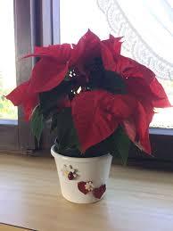 Weihnachtsstern Euphorbia Gcpraxisgruppefuchs Bs3welss