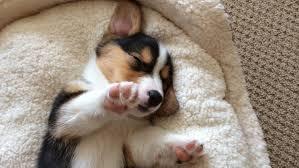 corgi puppy sleeping.  Sleeping To Corgi Puppy Sleeping YouTube