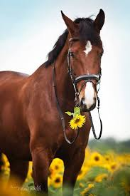 professional horse face photography. Bay Horse In Sunflower Field Guilty Face By Carina Maiwald Intended Professional Photography Pinterest