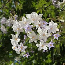 potato vine flower.  Flower Solanum Potato Vine A Jasmine Lookalike Throughout Vine Flower