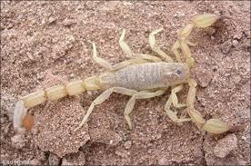 Scorpion: Vaejovis cazieri