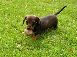 Average Weight For A Miniature Dachshund Size Weight Chart
