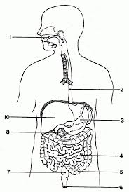 Blank diagram of the digestive system world of diagrams
