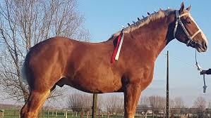 Vlaams Paard Nieuw Bloed Naar België Landbouwleven