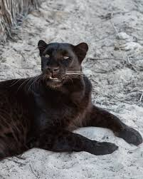 Get the latest carolina panthers rumors, news, schedule, photos and updates from panthers wire, the best carolina panthers blog available. The Significance Behind The Magnificent Creature Black Panthers F O R M F L U E N T