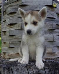white husky mix puppy. Delighful White White Sox  Siberian Husky Mix Puppy For Sale In Spring Glen PA In L