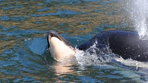 killer whale attacks on humans. Plain Whale The Orca Mother J35 Seen Here July 25 Has Been Carrying Her Baby Since  It Died Ken BalcombCentre For Whale Research Inside Killer Attacks On Humans R