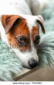 Niedlich Gesunde Jack Russell Terrier Hund Stehend Auf