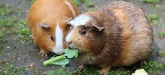 getting rid of guinea pig mites