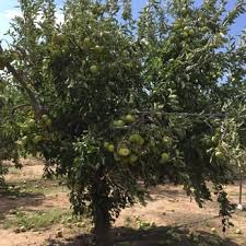 Every Home Garden Should Have This Fruit Tree  YouTubeAz Fruit Trees