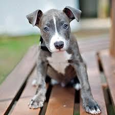 bull terrier pitbull mix. Perfect Pitbull Axl The American Pit Bull Terrier And Staffordshire Mix To Pitbull I