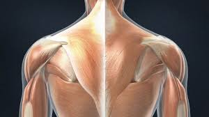 The back anatomy includes the latissimus dorsi, trapezius, erector spinae, rhomboid, and the teres shrugs, deadlifts and power cleans hit the upper traps the strongest. Muscle Strain Of The Upper Back Trapezius Strain Spine Resurgens Orthopaedics