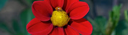 a ladybug crawling on a red flower