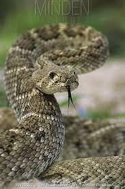 rattlesnake strike pose. Wonderful Rattlesnake Western Diamondback Rattlesnake Crotalus Atrox In Defensive Strike Pose  Texas  Rolf Nussbaumer Throughout Strike Pose