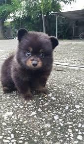 black pomeranian teddy bear cut. Exellent Bear For Black Pomeranian Teddy Bear Cut