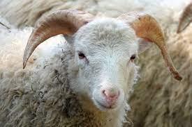 ماذا يأكل الخروف : حيوان الحمل : صغير الخروف : خروف صغير