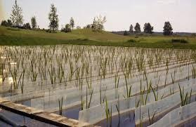 Биоплато Роль высших водных растений в улучшении качества воды  В процессах фотосинтетической аэрации макрофиты играют не меньшую роль чем фитопланктон Они способны накапливать в своем теле различные элементы
