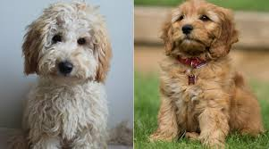 Goldendoodle Size Chart Labradoodle Vs Goldendoodle What Is The Difference The
