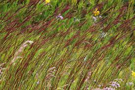 Image result for big bluestem grass