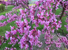 best flowering trees for a small yard