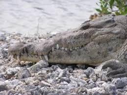 Spatial Ecology of the American Crocodile (<b>Crocodylus</b> acutus) and ...