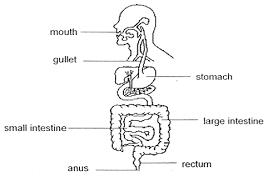 system essay digestive system essay