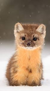 hd pictures of cute animals. Contemporary Pictures American Marten Snow Cute Animals HD Vertical To Hd Pictures Of Cute Animals