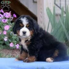 a bernese mountain dog puppy named freida