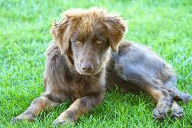 chocolate lab australian shepherd mix.  Chocolate Aussiedor Dog Images Pictures Puppy  Puppy Aussiedor Australian Shepherd Labrador Retriever Mix  On Chocolate Lab A
