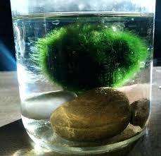 marimo moss ball aquarium how to moss ball water terrarium marimo moss ball pedestal aquarium