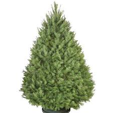Christmas Tree Buying Guide How To Select U0026 Care For Your Live Types Of Fir Christmas Trees